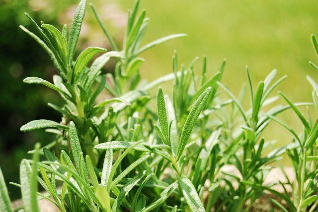 إكليل الجبل هو عبارة عن نبات أخضر اللون ذو رائحة منعشة. يُستخدم عادةً كمعطر  للجسم أو في صناعة الصابون أو غسول للشعر أو كنوع من التوابل للطعام، بالإضافة  ...